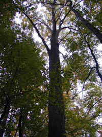 Canadian Oak Forests
